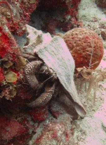 Giant_Hermit_Crab_Petrochirus_diogenes_2_Belize_R_Cosgrove