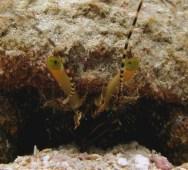 Giant_Hermit_Crab_Petrochirus_diogenes_macro_Belize_R_Cosgrove