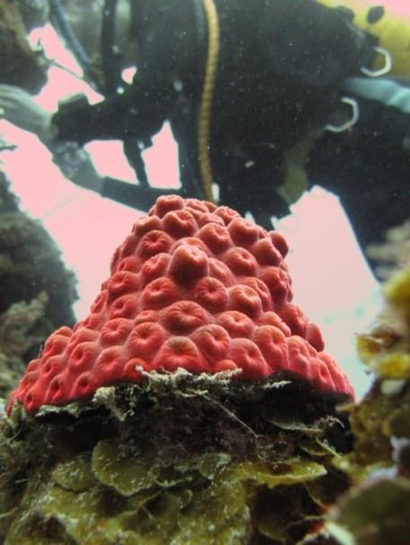 Great_Star_Coral_Montastraea_cavernosa_Belize_R_Cosgrove