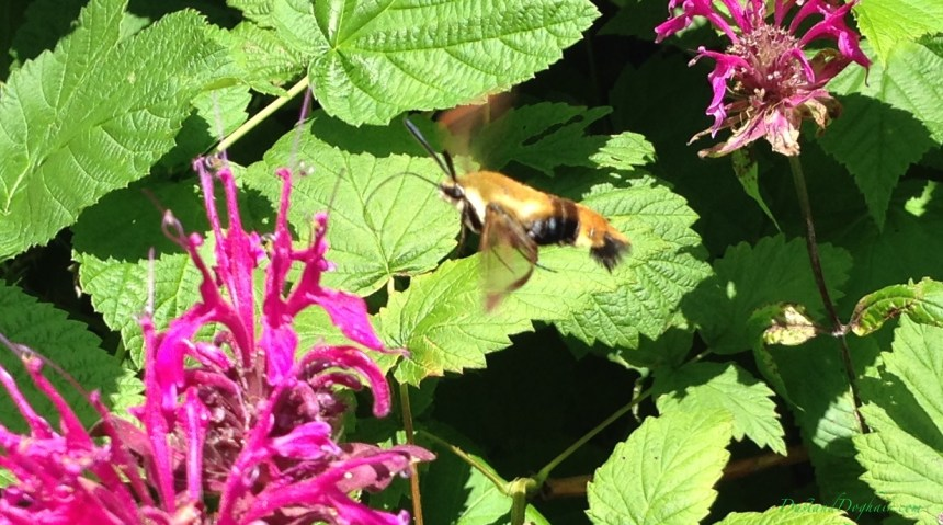 hummingbird moth, snowberry clearwing, flying shrimp