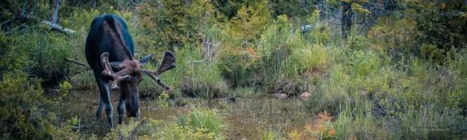 018 Moose Banner