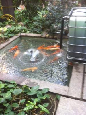 DIY biofilter for an indoor koi pond.