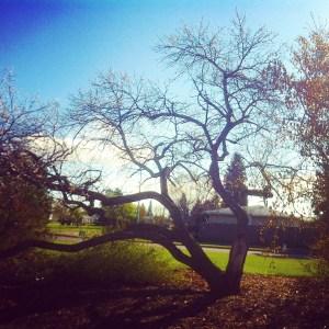 Edmonton historic hearty Capilano Apricot #yegtrees