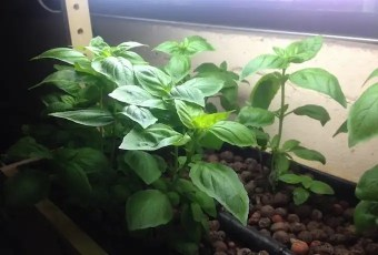 Dustin Bajer. Basil growing is a home diy aquaponics system