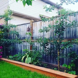 An apple and pear tree espaliered against the South-side of a residential fence in the Edmonton neighbourhood of Forest Heights.