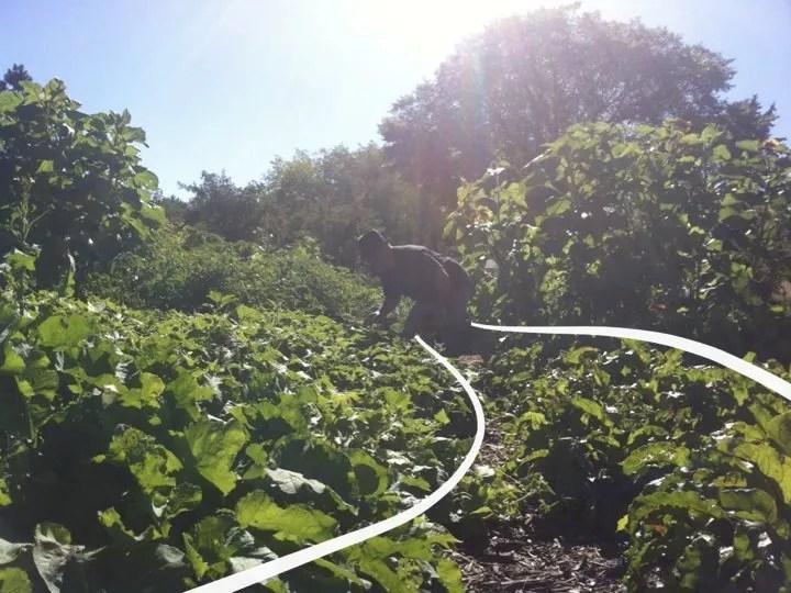 Vegetables growing on a water harvesting swale. Parkallen community garden.