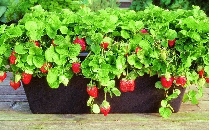 Strawberries In An Earthbox