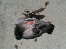 pigeon-2707_6509634611_o