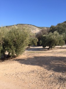 Discovering the path of an ancient olive grove trail.
