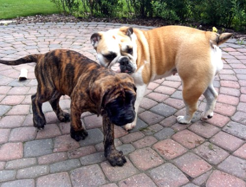 english mastiff and english bulldog