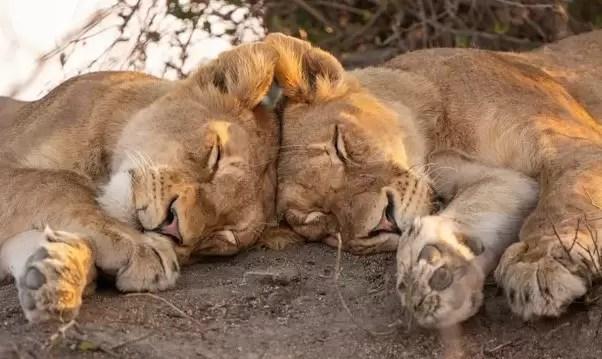 Ayı, Kurt, Aslan, Yunus: Uyku Tipinizi Anlamak Hayatınızı Değiştirebilir👍