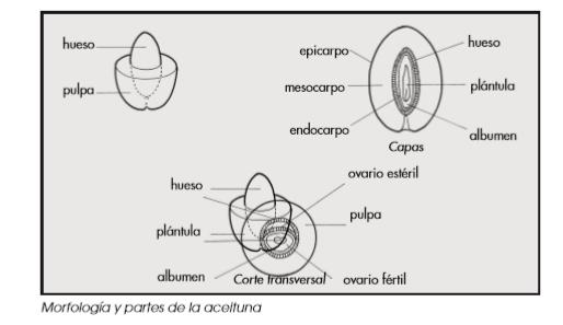 Guía completa del cultivo del olivo 1