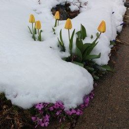 spring_flowers_snow