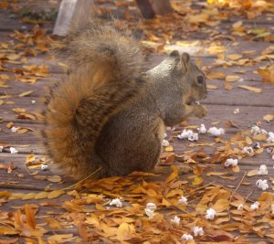 squirrel-eating-popcorn