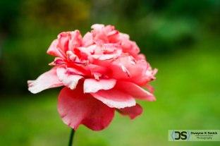 Le-Rose-1