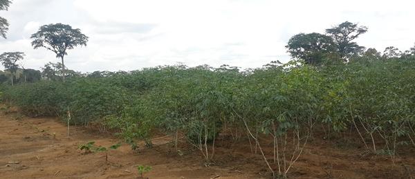 le programme graine doyem a deja expedie 5 tonnes de manioc a libreville - Le Programme Graine d'Oyem a déjà expédié 5 tonnes de manioc à Libreville