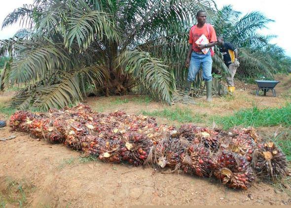 Gabon OLAM PALM LES DÉFIS À VENIR - Gabon- Investissements agro-industriels - OLAM PALM : LES DÉFIS À VENIR