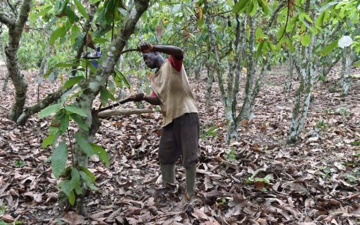 000 SE58T - Cacao ivoirien : une ONG accuse les grands groupes de favoriser la déforestation