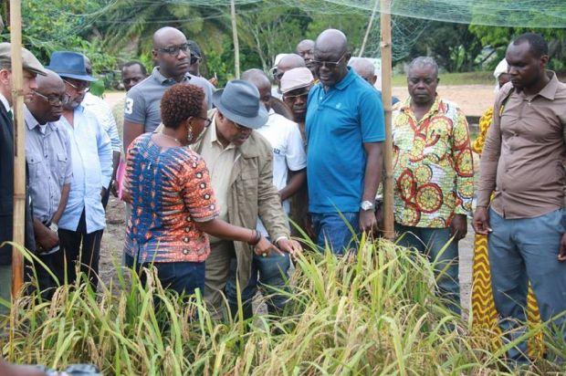 Julien Nkoghe Bekalé récolte le riz gabonais