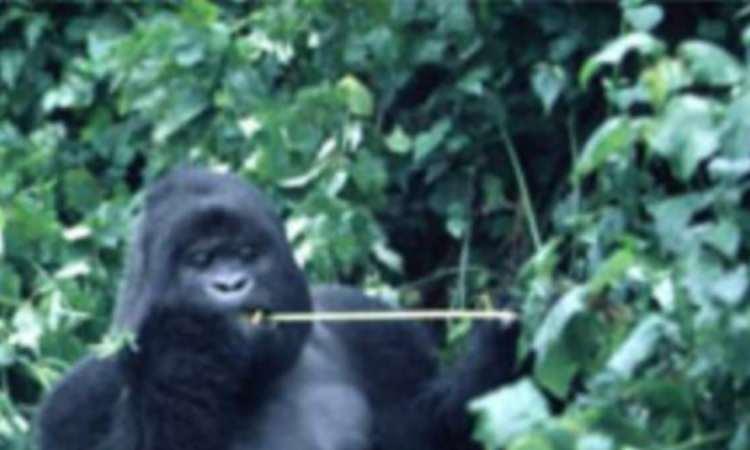 France : L'orang-outan star Nénette, à l'étroit, attend sa grande volière extérieure