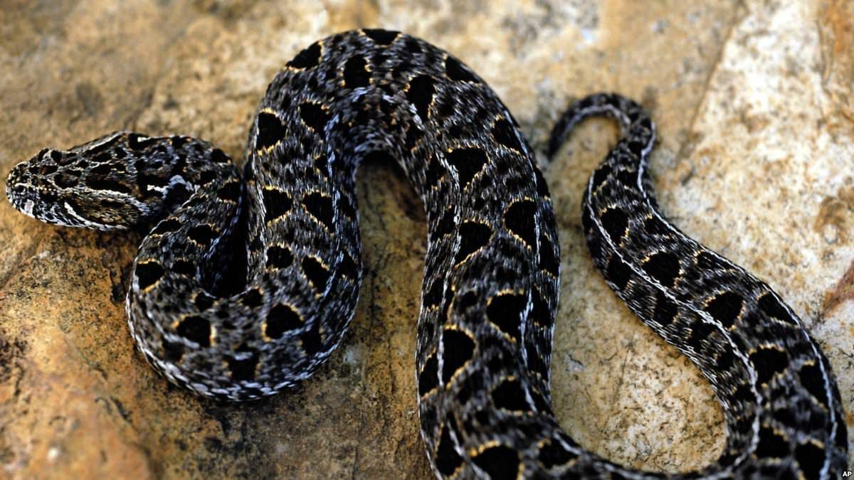 Morsures de serpents: un poison toujours aussi meurtrier