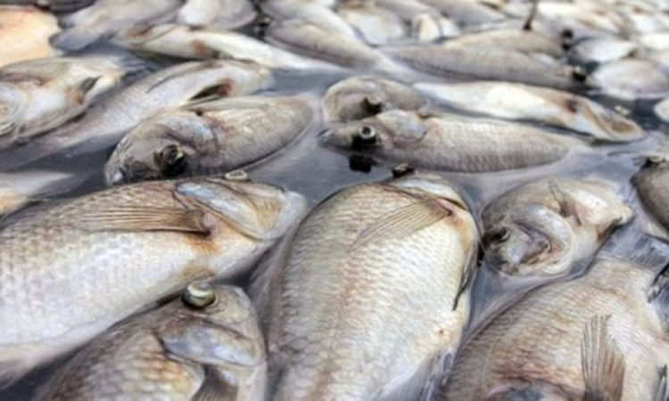 Poissons morts : la carpe encore interdite au menu