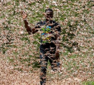LaRDCà son tour touchée par les criquets ravageurs, une première depuis 1944