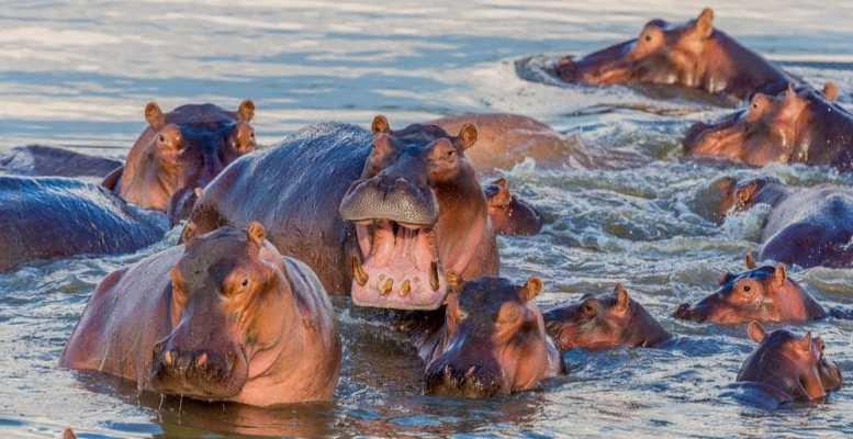 Hippo - Cameroun : Trois personnes tuées par des hippopotames