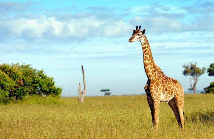 Kénya : sauver les girafes et satisfaire Washington