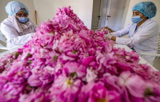 ea2cb53c123c3e2cf2a81de7b26de78653851124 524x334 - AuMaroc, le dur labeur des cueilleuses de roses