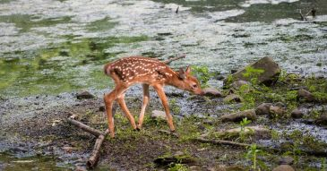 The Most Important Week of a Fawn's Life | Virginia DWR