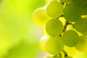 Grapes on grapevine, close-up.