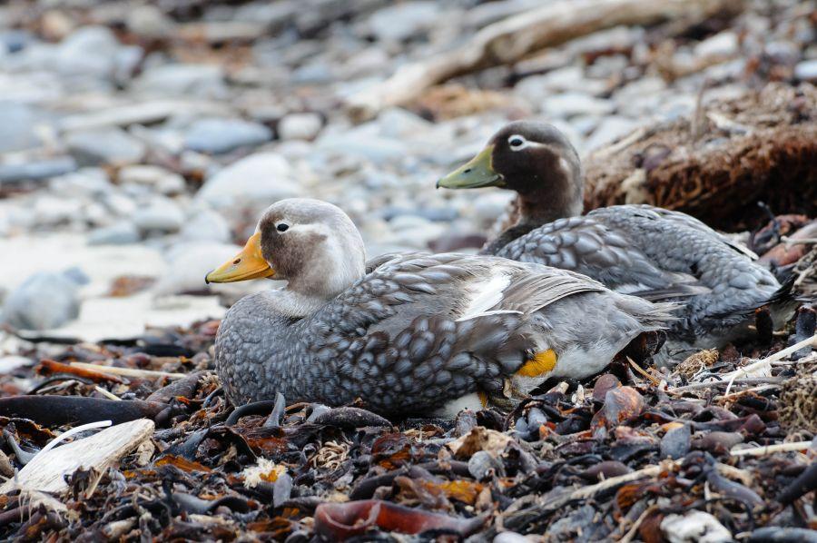 Falkland Islands VP8DRC Tourist attractions spot Steamer Ducks.