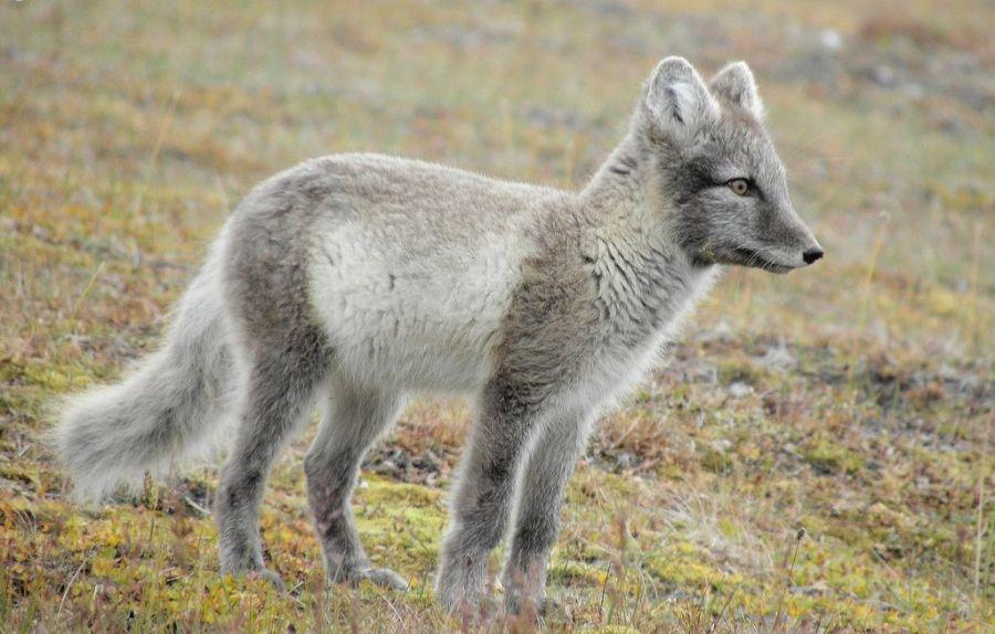 Svalbard JW/LB5WB Arctic fox.