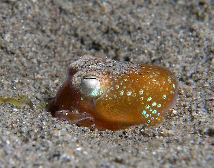 Timor Leste 4W/DJ2EH DX News Bobtail Squid.