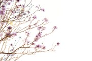 like a sakura #1
