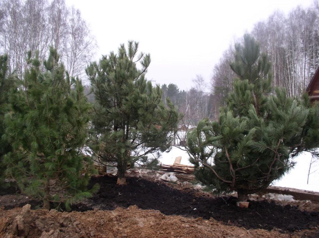 Malattie dei pini. Cedri: esperienza di coltivazione Cedro