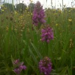 Orchid in the hay meadow