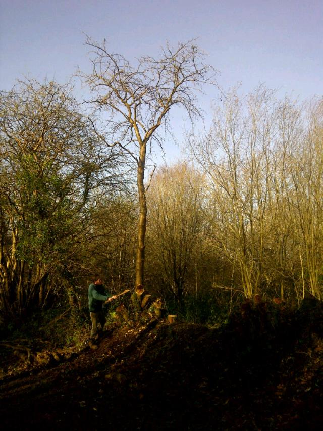 Felling the last Laburnum trunk with an axe