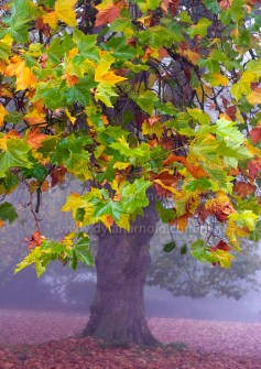 autumn-tree-in-the-mist