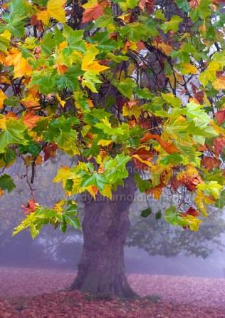 autumn-tree-in-the-mist