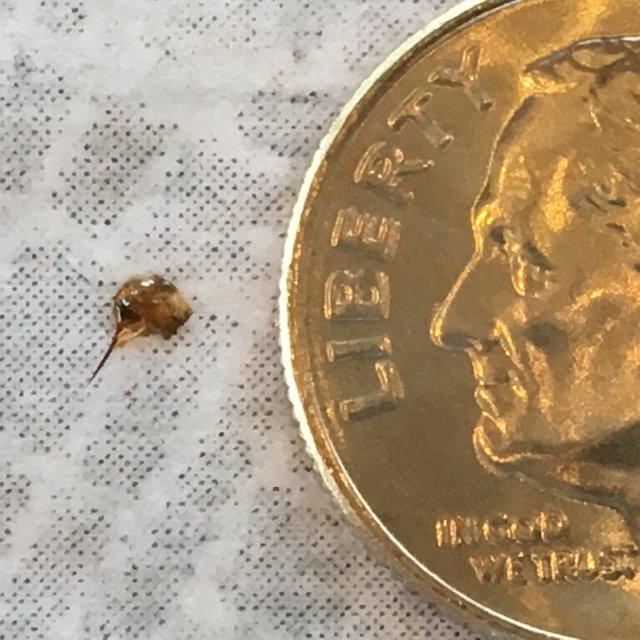 honey bee stinger next to a dime