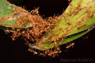 'Ant bridge'