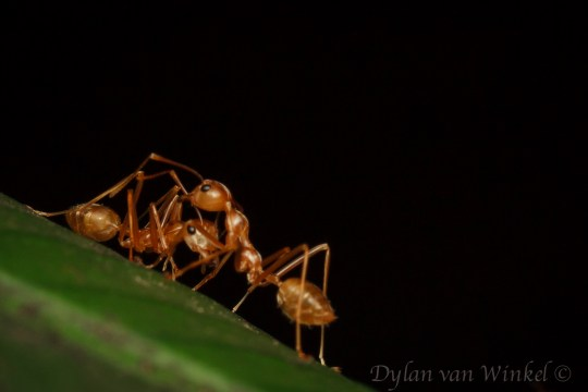 Unidentified ant