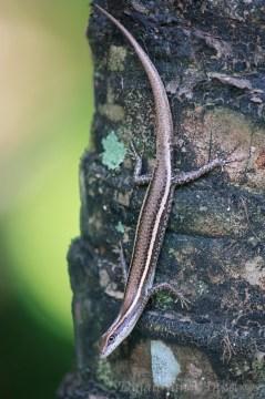 Cryptoblepharus poecilopleurus (Port Moresby)