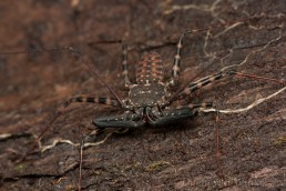Unidentified Amblypygi (Tailless whip scorpion)