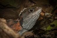 Sphenodon punctatus (tuatara; male)