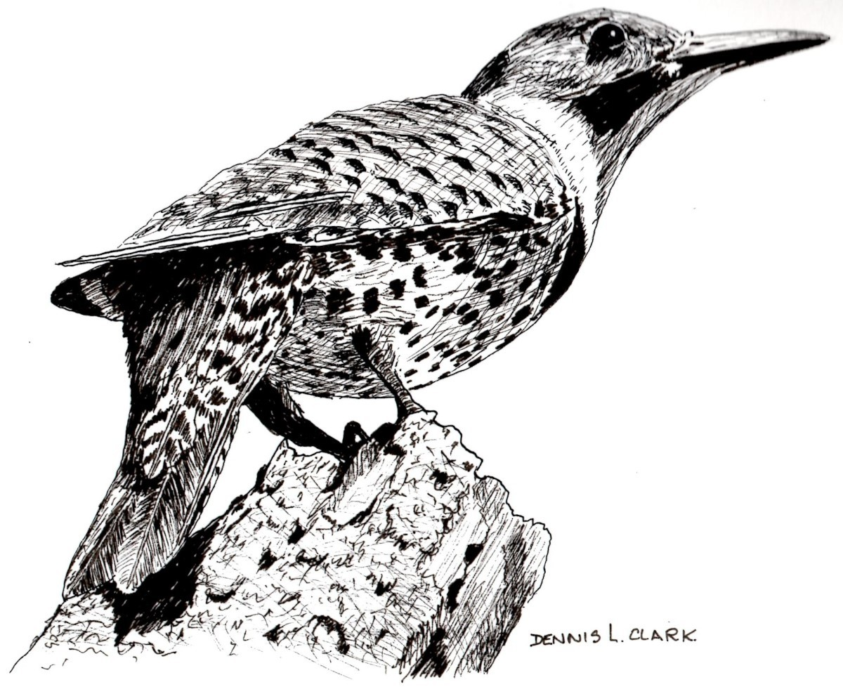 How To Draw A Northern Flicker Bird In Pen And Ink