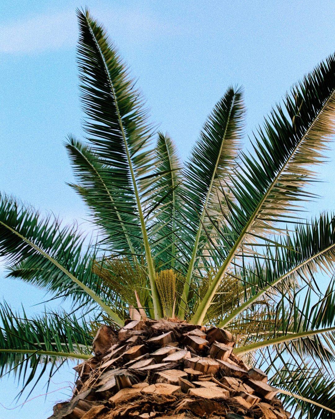 Palm Tree in Phoenix