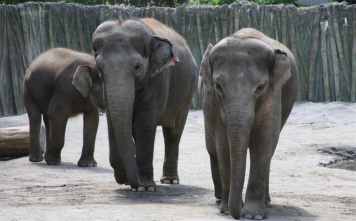 Elephants at Oregon Zoo